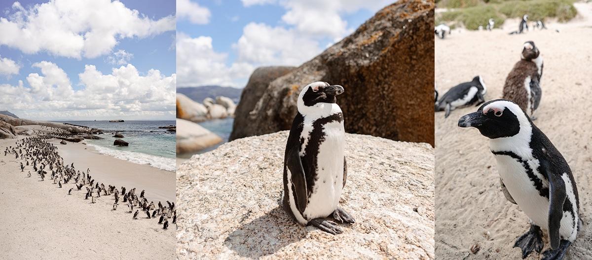 Cape Town, Kapstadt, Ausflug, boulders beach, Pinguin, Strand, Pinguin Strand, Roadtrip